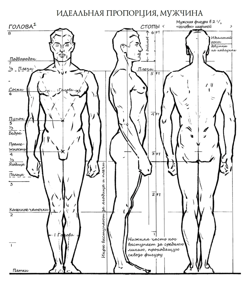 пропорции мужчин