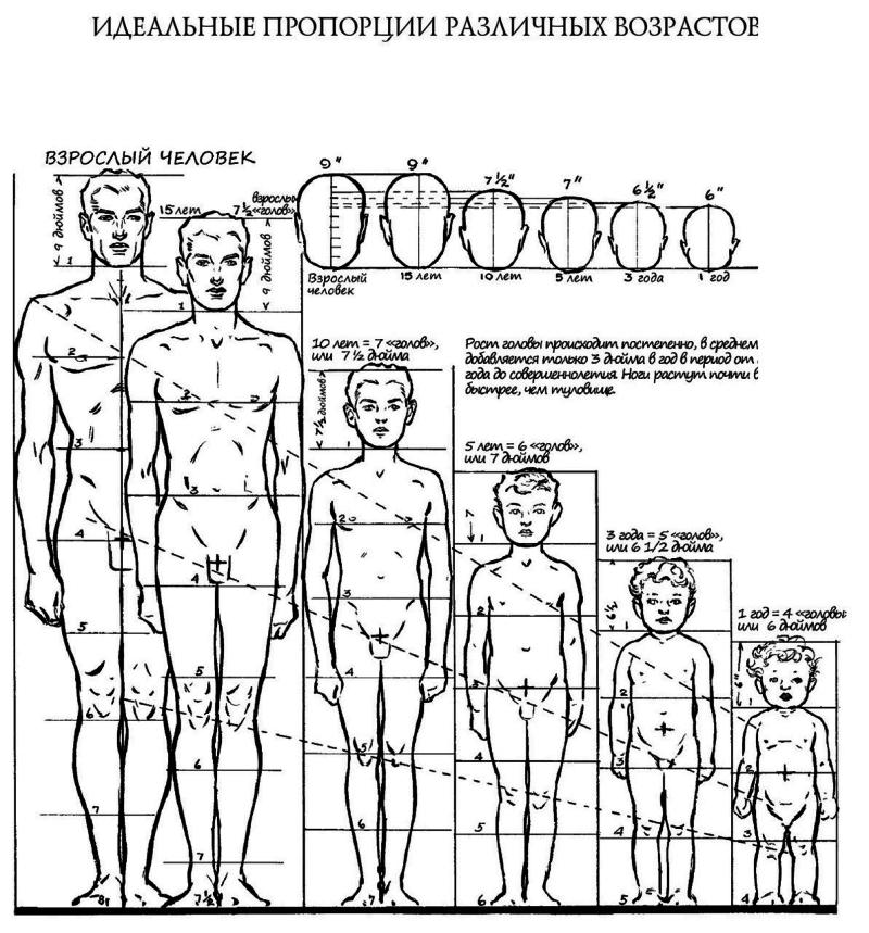 пропорции человека по возрастам