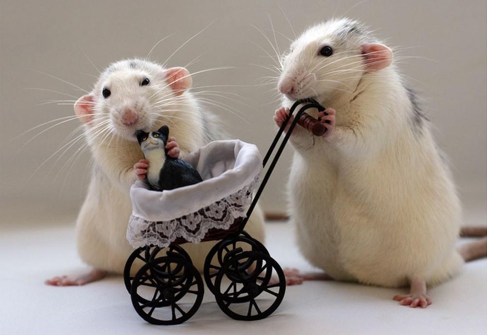самые прикольные картинки года белой крысы представлены все